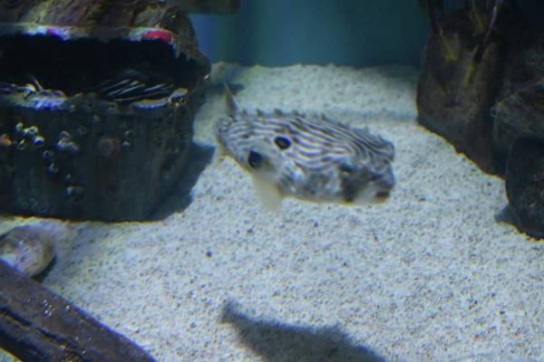 Photograph - Peaceful Puffer by Jeremy Guerin