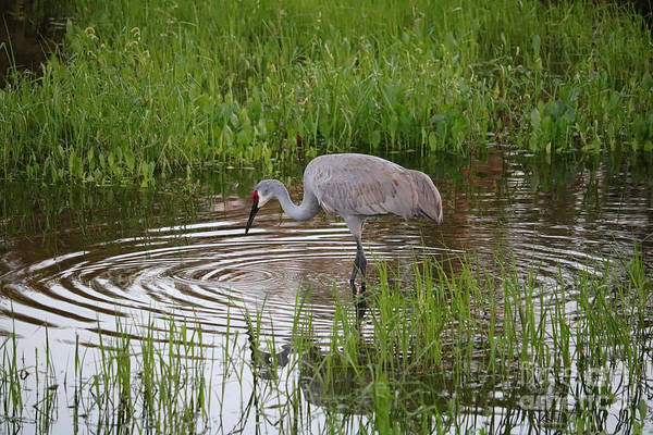 Photograph - Peaceful Sandhill In Pond by Carol Groenen