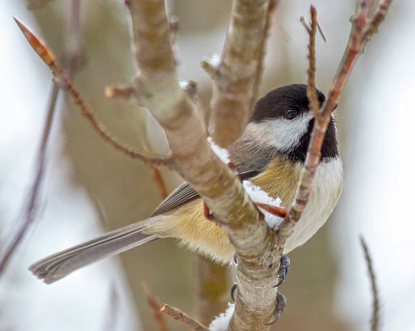 Wall Art - Photograph - Peaceful Winter Chickadee  by Betsy Knapp