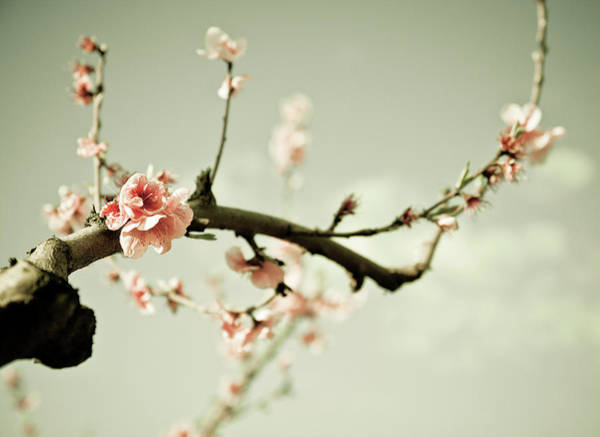 Coral Photograph - Peach Blossom by Elyse Patten