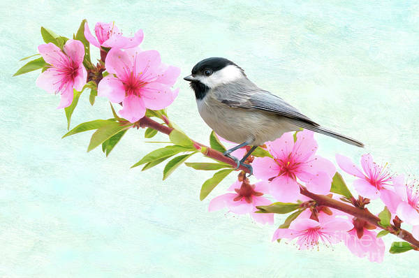 Wall Art - Photograph - Chickadee And Peach Blossoms by Laura D Young