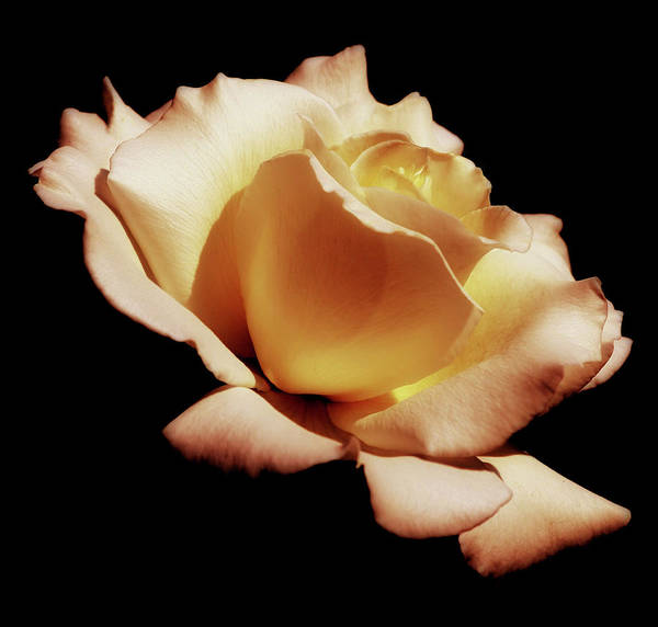 Coral Photograph - Peach Color Rose by Kim Hojnacki