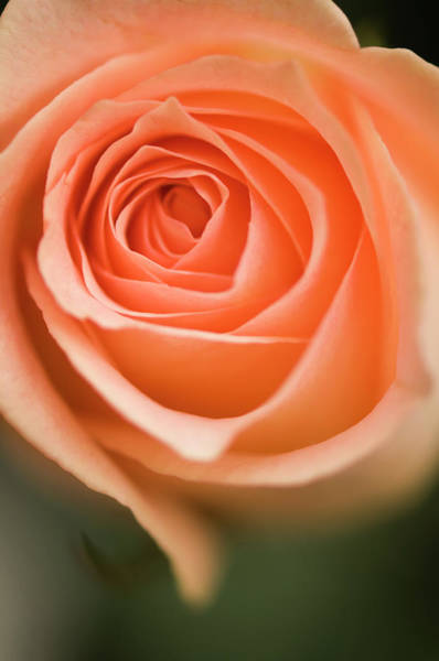 Rockville Photograph - Peach Colored Single Rose Flower by Maria Mosolova