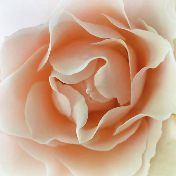Photograph - Peach Curls by Michelle Wermuth