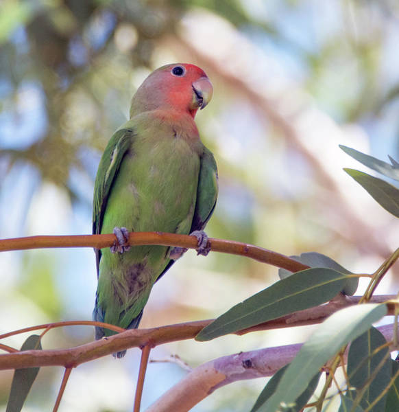 Photograph - Peach-faced Lovebird 4814-080719 by Tam Ryan