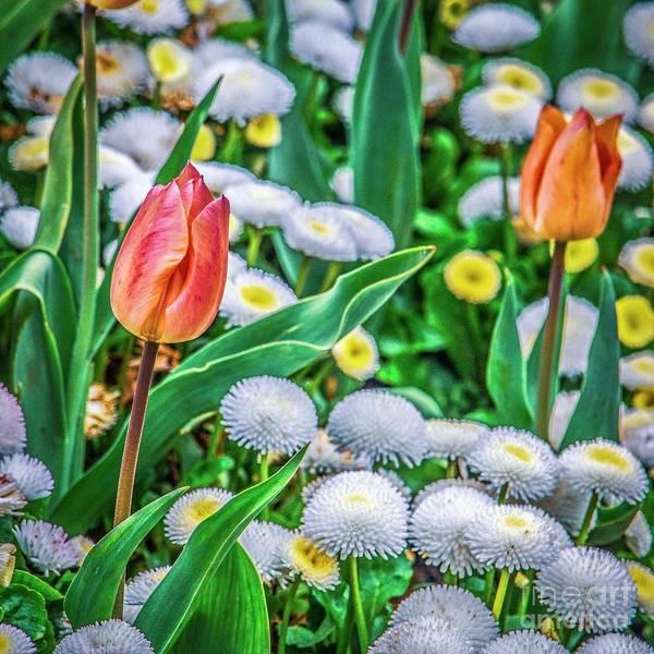 Photograph - Peach Melba Tulips by Nigel Dudson