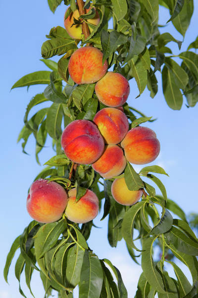 Drops Of Water Photograph - Peaches Growing On A Tree by Sven Hagolani