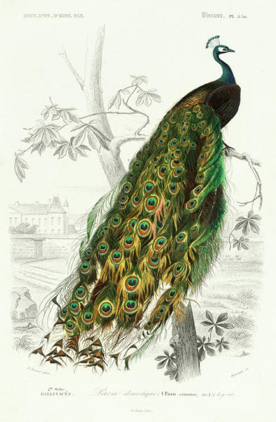 Peafowl Painting - Peafowl by Alcide d'Orbigny