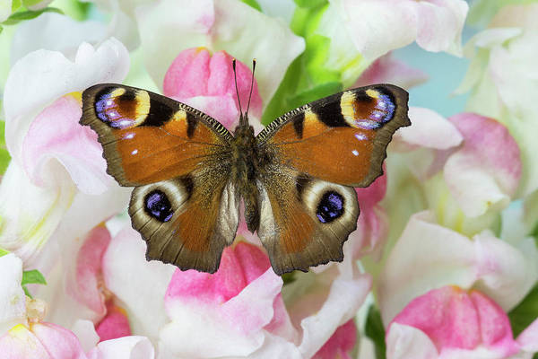 Wall Art - Photograph - Peacock Butterfly, Inachis Io On Pink by Darrell Gulin