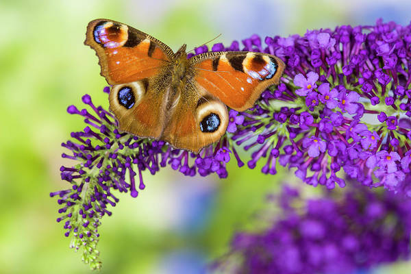 Butterfly Bush Wall Art - Photograph - Peacock Butterfly, Inachis Io Resting by Darrell Gulin
