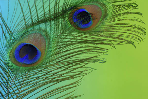 Photograph - Peacock Color Pop 2 by Perry Correll