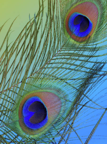 Photograph - Peacock Color Pop Blue by Perry Correll