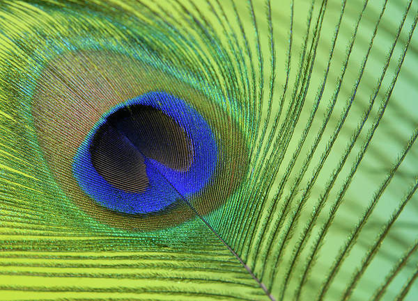 Photograph - Peacock Color Pop Detail by Perry Correll