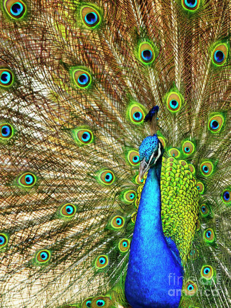 Photograph - Peacock Colors by Charles McKelroy