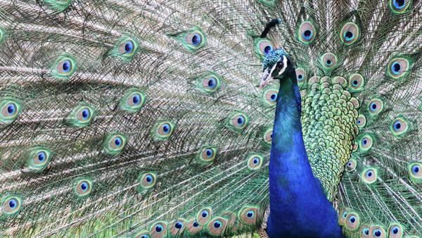 Lokrum Photograph - Peacock Displaying During Mating Season by Carolin Voelker