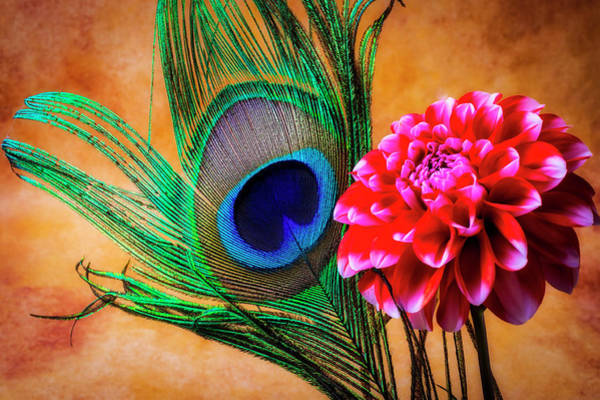Wall Art - Photograph - Peacock Feather And Dahlia by Garry Gay