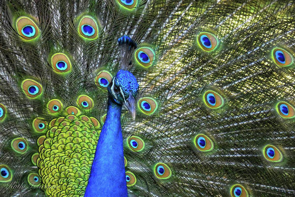 Macro Wall Art - Photograph - Peacock Feathers by Kathi Isserman