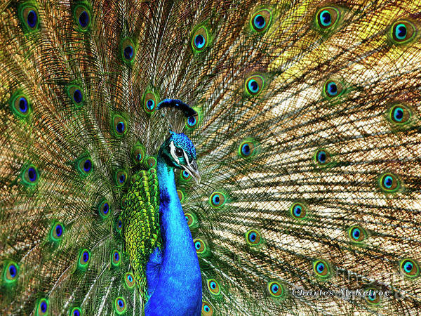 Photograph - Peacock Full Bloom by Charles McKelroy