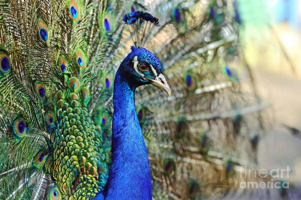 Forest Bird Photograph - Peacock In The Wild On The Island Of by Kyslynskahal