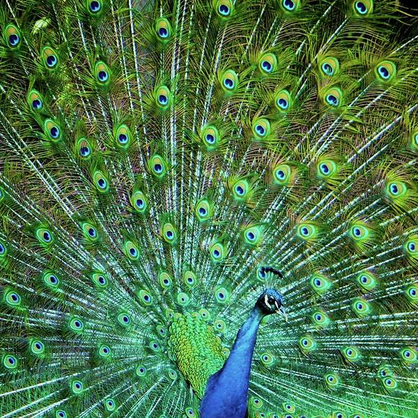 Back In The Day Photograph - Peacock by Karol Franks