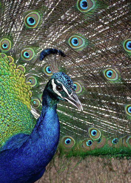 Wall Art - Photograph - Peacock by Kim Anderson