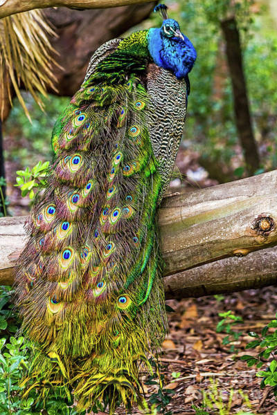 Photograph - Peacock Watching by Kate Brown