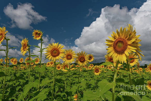 Photograph - Peak Growing Season - Sunflowers by Dale Powell
