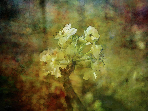 Photograph - Pear Blossoms 8998 Idp_2 by Steven Ward