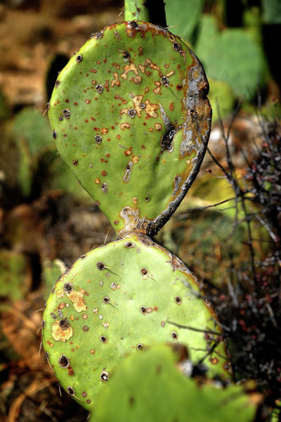 Photograph - Pear Cactus by George Taylor