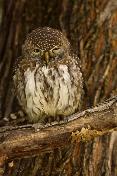 Wall Art - Photograph - Pearl-spotted Owlet by David Hosking