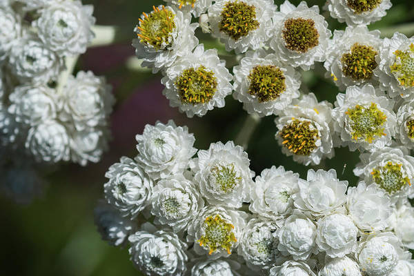 Photograph - Pearly White Everlasting by Robert Potts