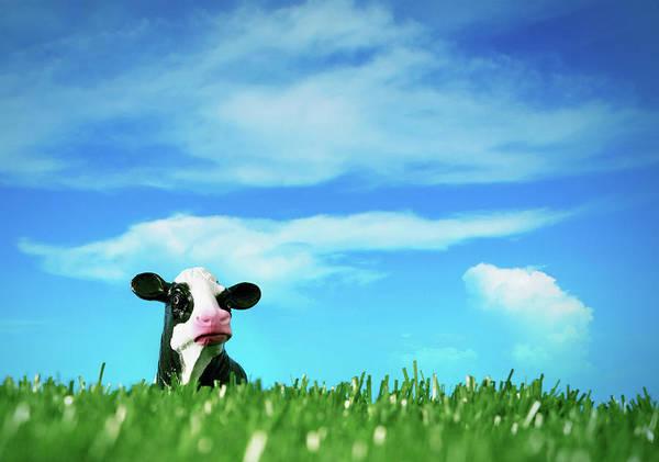 Hiding Photograph - Peck A Boo Cow by Thepalmer