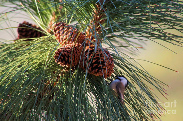 Wall Art - Photograph - Pecking The Big Cones by Jeff Swan