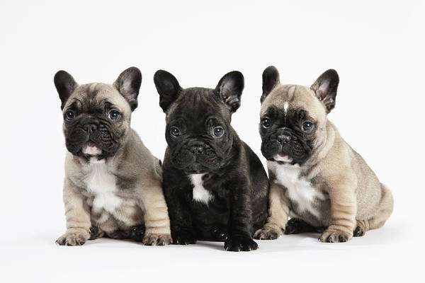 French Bulldog Photograph - Pedigree French Bulldog Puppies In A by Andrew Bret Wallis