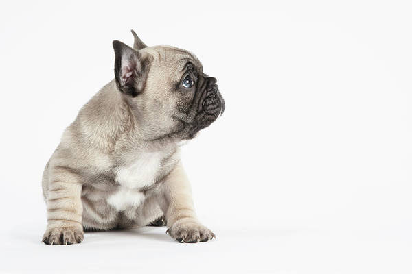 Learning Photograph - Pedigree French Bulldog Puppy Listening by Andrew Bret Wallis