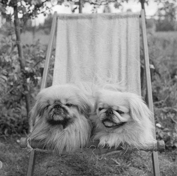 1958 Photograph - Pekinese Pets by R Mathews