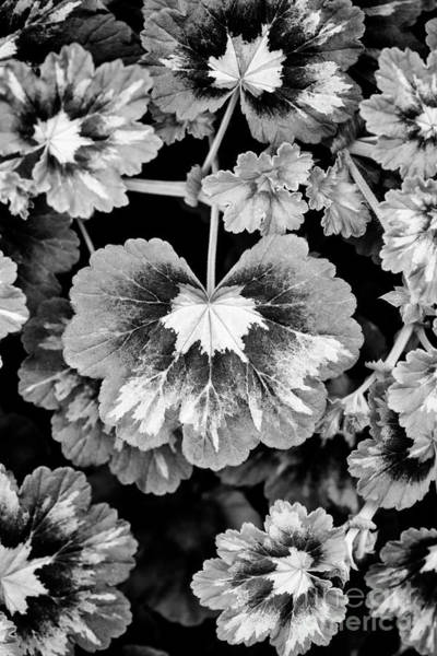 Wall Art - Photograph - Pelargonium Magic Lantern Leaves Monochrome by Tim Gainey