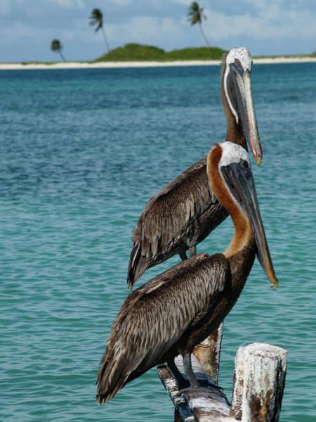 Photograph - Pelecanus Occidentalis by Organizacion Bluewater
