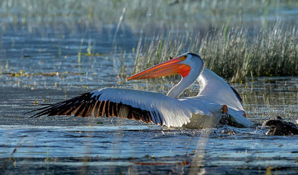 Photograph - Pelican 11 by Rick Mosher