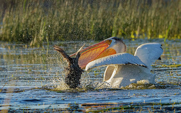 Photograph - Pelican 8 by Rick Mosher