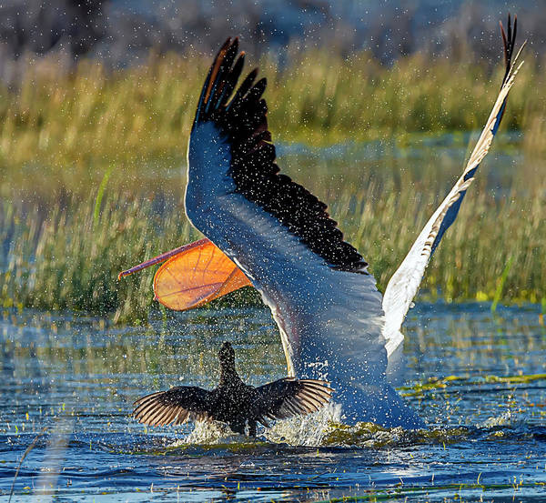 Photograph - Pelican 9 by Rick Mosher