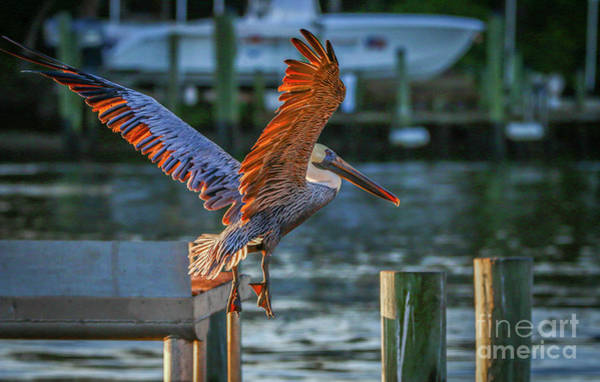 Photograph - Pelican Approach by Tom Claud