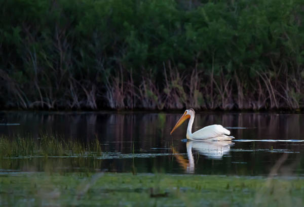 Photograph - Pelican At Sunrise by Rick Mosher