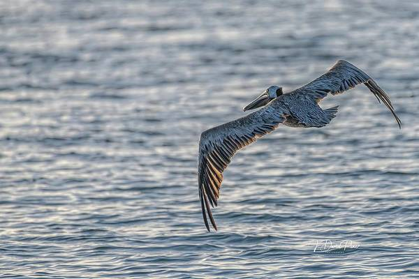 Photograph - Pelican In Flight by David Pine