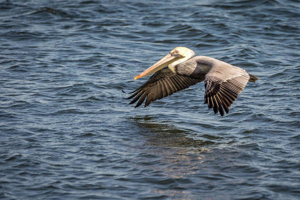 Photograph - Pelican In Flight by Framing Places