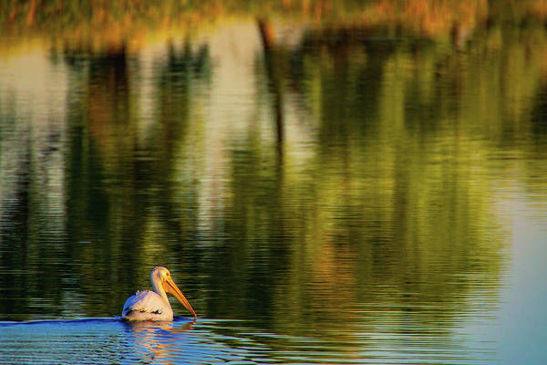 Photograph - Pelican In Sunlight by John De Bord