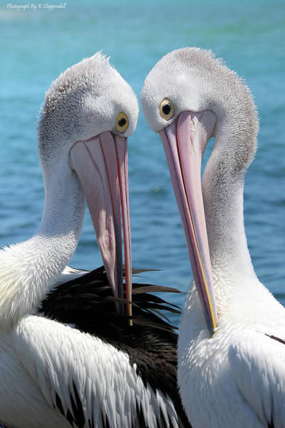 Australian Wildlife Digital Art - Pelican Love 06163 by Kevin Chippindall