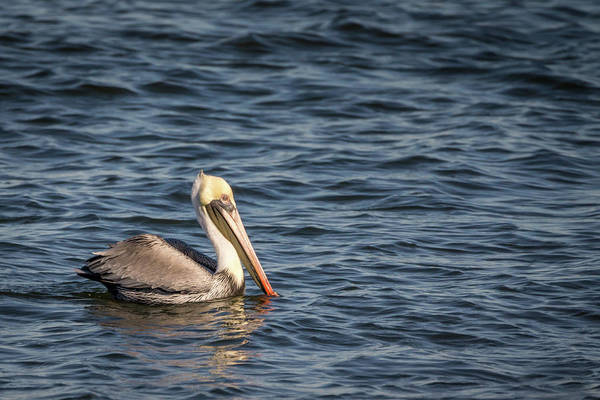 Photograph - Pelican On Water by Framing Places
