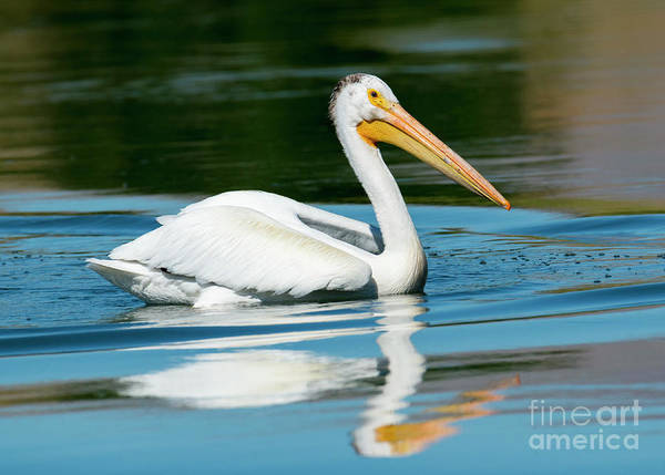 Wall Art - Photograph - Pelican Reflected by Mike Dawson