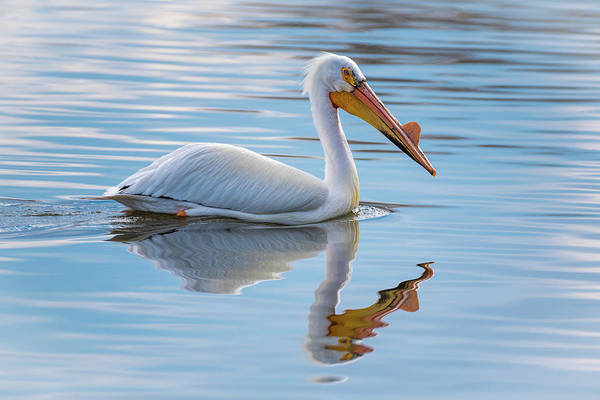 Pelican Reflection Art Print